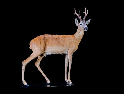 Mamals Europe Roebuck Taxidermy work