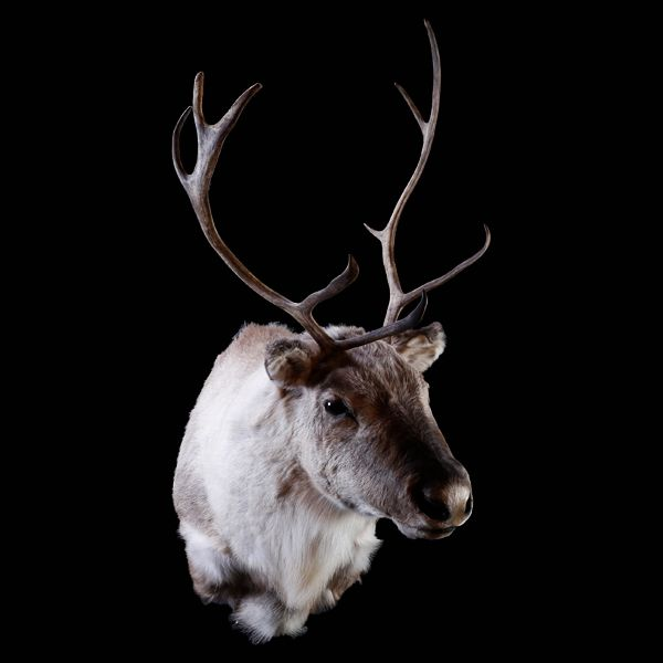 Caribou Shoulder Mount - First Class Trophy Taxidermy