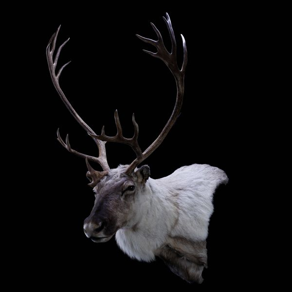 Caribou - First Class Trophy Taxidermy