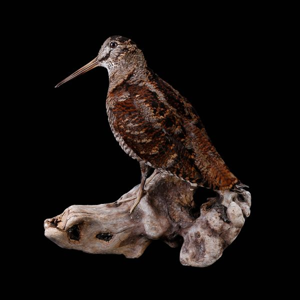 Woodcock - First Class Trophy Taxidermy